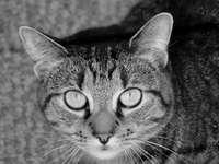 Pisica puzzle UwU - O pisică alb-negru foarte tare: v