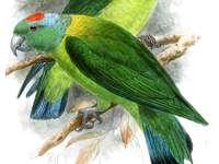 Rotkappenblattschwanz - Rotschwanzblattschwanz [3] [4] (Prioniturus vertikaleis) - eine mittelgroße Vogelart aus der Famili