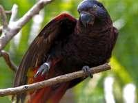 Lora μαύρο - Black Lora [4] (Chalcopsitta atra) - ένα είδος μεσαίου μεγέθους πουλιο�