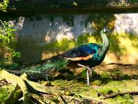 Golden peacock - Golden peacock, green peacock [3] (Pavo muticus) - a species of large bird from the family of hen fa