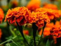 Flor de cempazuchitl - Flores para o altar dos mortos