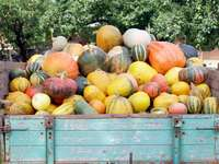 Rich pumpkin harvest on wooden wagon - Rich pumpkin harvest on wooden wagon