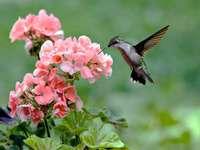 koliberek na kwiatku