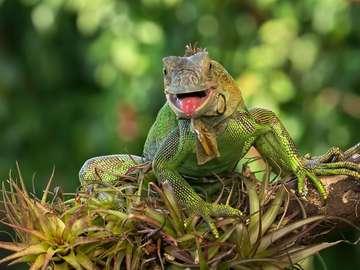 zöld leguán- gyík