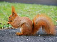 squirrel - Squirrel - A species of rodent with a fur color from red to dark brown.