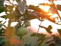 Ντομάτες στο ηλιοβασίλεμα - πράσινο φυτό σε ρηχή φωτογραφία εστίασης.