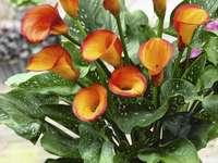 calla orange - m .....................