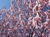 Almond blossom - .......................