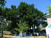 codrii Moldovei - cel mai bătrân stejar din Moldova