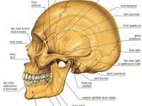 Emberi biologia - Állítson össze egy emberi koponya képét