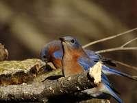 niebieski i brązowy ptak na gałęzi drzewa brązowy