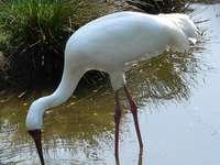 Vit kran - Den vita kranen [3], den sibiriska kranen, snökranen (Leucogeranus leucogeranus) - en art av stor f