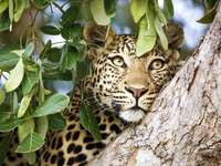 leopard on a tree - m .....................