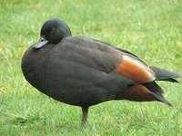 Kazarka Rajska - Blackbird (Tadorna variegata) - a species of bird from the family ducklings (Anatidae). Its natural