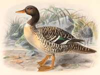 Nowogwinejka - Nowogwinejka (Salvadorina waigiuensis) - a species of large water bird from the Anatidae family, who