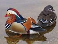 Muskrags - Muscovy (Cairinini) - kmen ptáků z podčeledi kachen, rodiny kachňat. Jedná se o různorodou sku