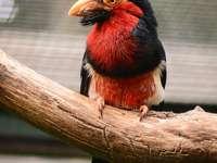 Pogonornis - Pogonornis - un gen de pasăre din subfamilia mustaței (Lybiinae) din familia tucanilor (Ramphastid