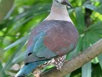 Ducula ............ - Ducula - a genus of bird from the treron subfamily (Raphinae) in the family of pigeons (Columbidae).