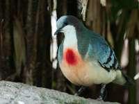 Gallicolumba - Gallicolumba - un genre d'oiseau de la sous-famille treron (Raphinae) dans la famille des pigeo