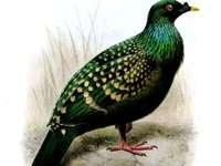 Skvrnitý Nicobarist - Nikobarv skvrnitý [3] (Caloenas maculata) - pravděpodobně vyhynulý pták z čeledi columbidae, p