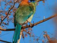 Момотус ... - Momotus - род птици от семейство пили (Momotidae).