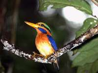 Actenoides - Actenoides - a genus of bird from the hunter's birth (Halcyoninae) in the kingfisher family (Al