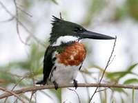 Chloroceryl - Chloroceryle - een geslacht van vogels uit de onderfamilie Cerylinae in de ijsvogelfamilie (Alcedini