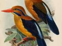 Moustached Krasnogłówek - Schnurrbartzwerge (Actenoides bougainvillei) - eine kleine Vogelart aus der Familie der Eisvögel (A