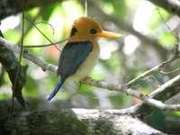 Σύμα ..... - Syma - ένα γένος πουλιών από την υποοικογένεια των κυνηγώ
