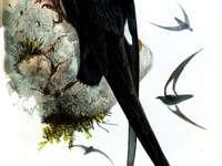 Μέρνσια - Mearnsia - ένα γένος πουλιών από τη γρήγορη οικογένεια (Apodina