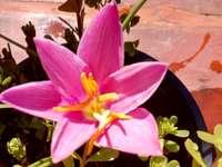 lírio d'água - flor em um pequeno vaso no jardim da minha casa