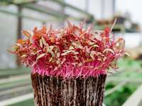 Red amaranth microgreens - red and purple flowers on brown woven basket. Indonesia