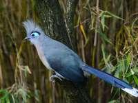 Куини .... - Куини - племе от птици от подсемейство кукали (Centropodinae) �