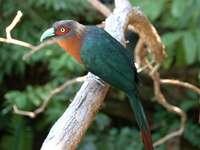 Φαινικεφαίνη - Phaenicophaeini - μια φυλή πουλιών από την υποοικογένεια των κ�