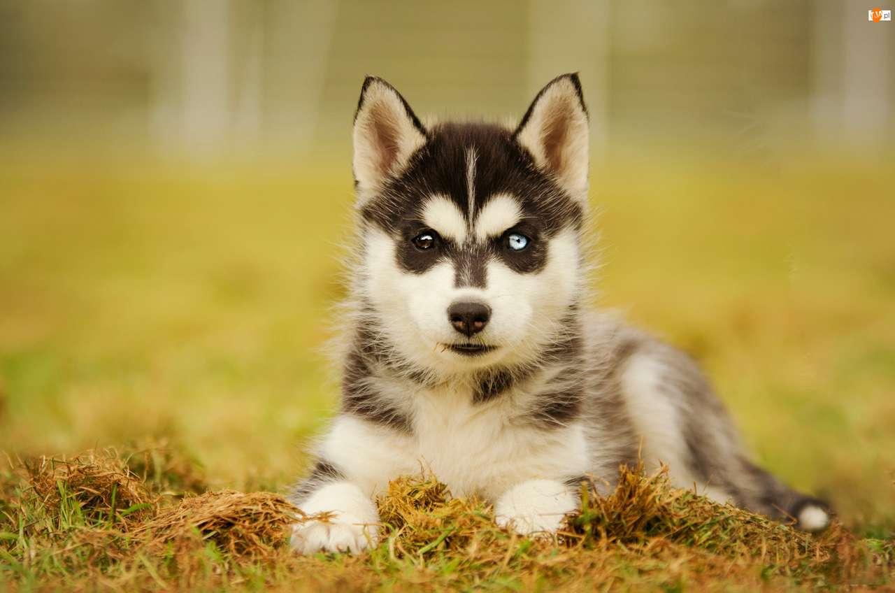 Cachorro de Husky con ojos de diferentes colores