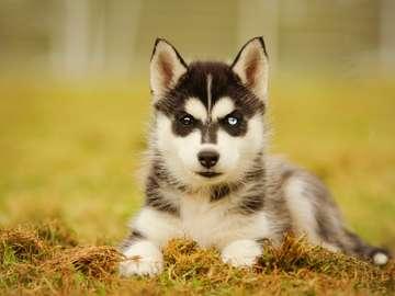 Cățeluș husky cu ochi diferiți de culoare