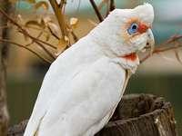 Какатуа .... - Cacatua - род птици от подсемейство какаду (Cacatuinae) от семей�
