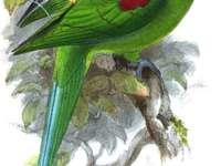 Александрета от Сейшелските острови - Сейшелски острови Aleksandretta (Psittacula wardi) - вид средно голем�