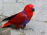 Eclectus (γένος) - Eclectus - ένα γένος πουλιών από την υποοικογένεια των ανατ