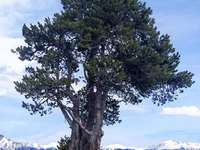 Tree in Pyrenees - Pyrenees. Pal-Arinsal sector