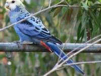 Platycercini - Platycercini - племе от птици от подсемейството на язовира (Lor
