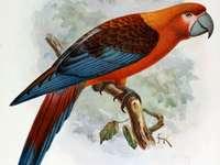 Τρίχρωμο μακώ - Ara tricolor [4] (Ara tricolor) - ένα εξαφανισμένο πουλί της οικογένε