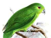 Nannopsittac - Nannopsittaca - ένα γένος πουλιών από την υποοικογένεια νεοτρ