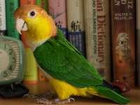 Пионити .... - Пионити - род птици от подсемейство на неотропични пап�