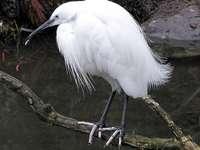 Егрета ... - Egretta - род птици от семейство чапли (Ardeidae).
