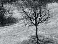 Ze série: Pouze o stromech (více v mém albu) - ve stupních šedi bezlistý strom na zasněžené zemi. Rakousko