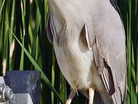 Nycticorax - Nycticorax - ένα γένος πουλιών από την οικογένεια ερωδιών (Ard