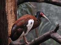 Белокрил ибис - Белокрил ибис [5] (Lophotibis cristata) - вид птица от семейство иб