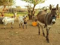 âne avec des chèvres - m ....................