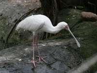 Платалея ..... - Platalea - род птици от семейство ибисови (Threskiornithidae).